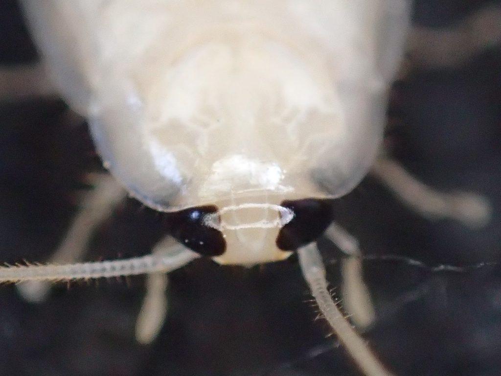 突然変異!?と思わせるほど雪みたいに白いゴキブリの超接写画像
