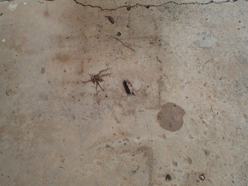 コンクリートの地面でアリが何かに群がっている場面に遭遇した