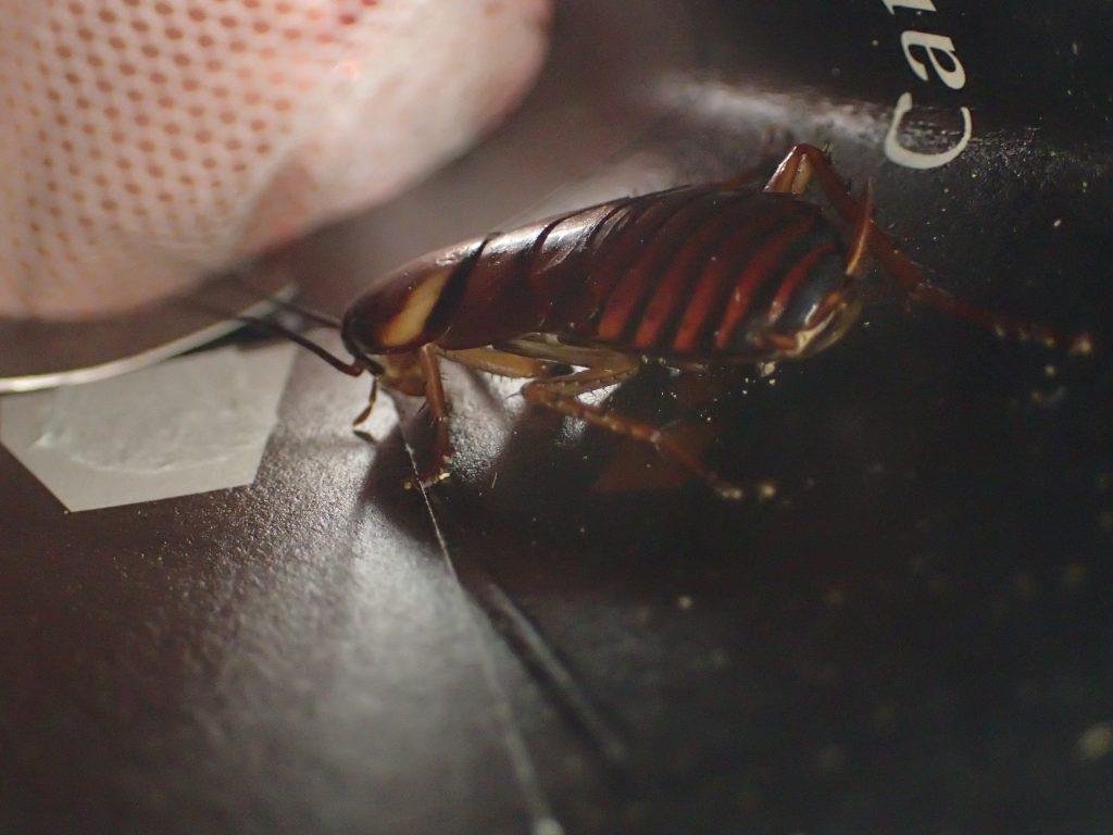 ハーブを移し替える間、一時避難してもらった幼齢ワモンゴキブリ