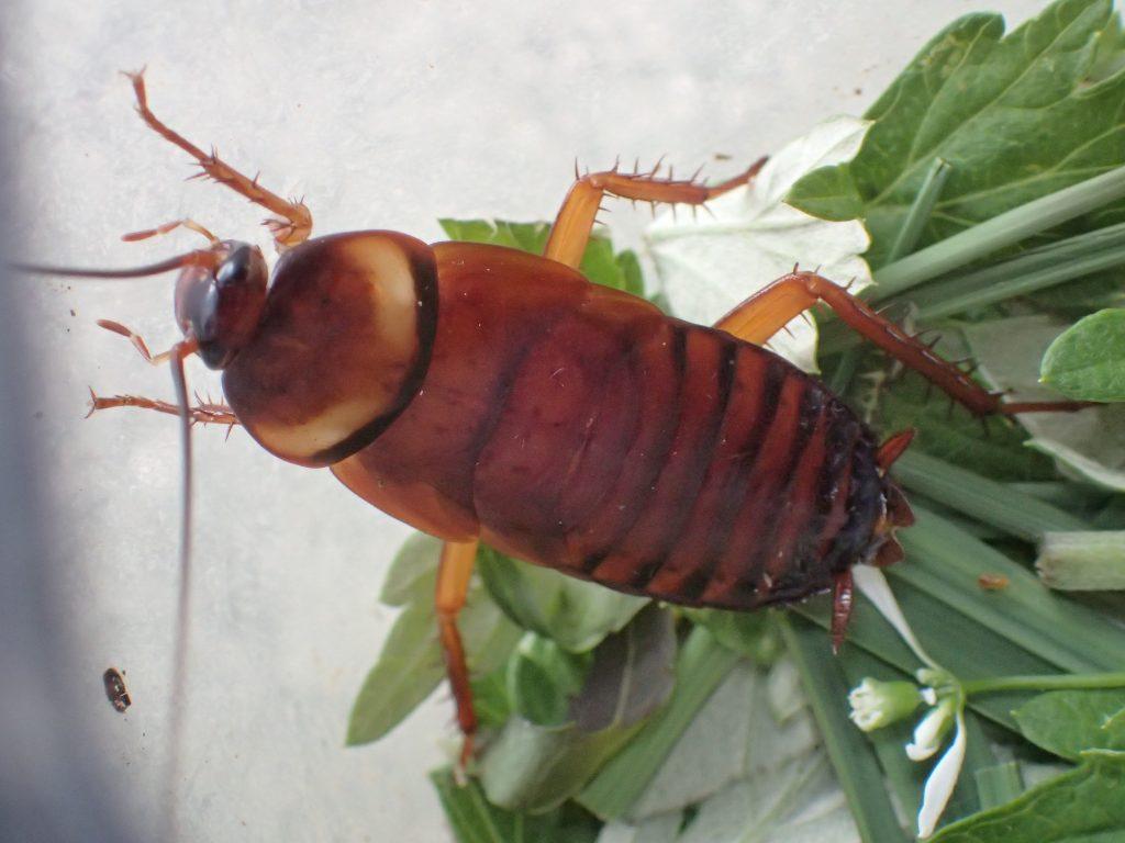 足をバタバタさせ慌てた様子で角隅へ逃げようとするゴキブリ