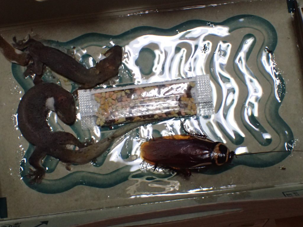 屋根を開けると、ゴキブリ以外に罠に掛かり腐敗したヤモリも2匹いた