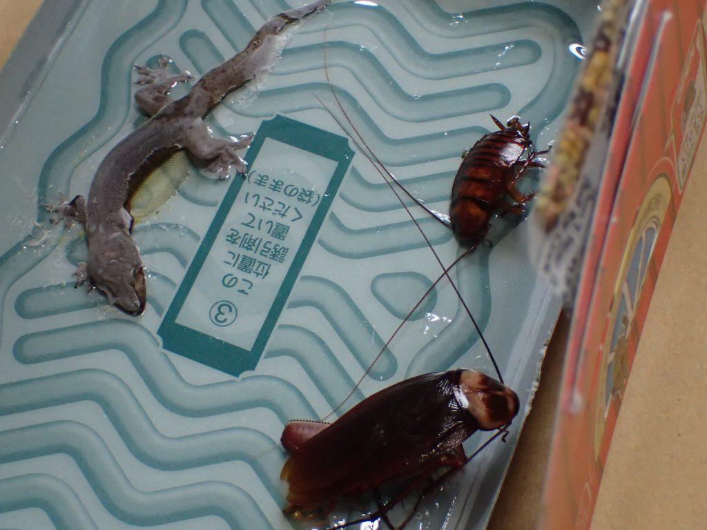組み立てを解体してみるとヤモリの死骸と幼齢のゴキブリも罠に掛かっていた