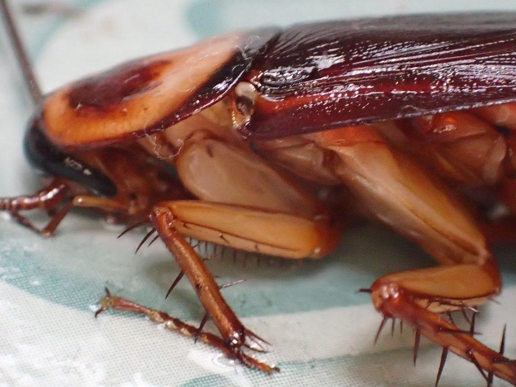 頭部・顔面から粘着シートに張り付いて身動きがとれない害虫ゴキブリ