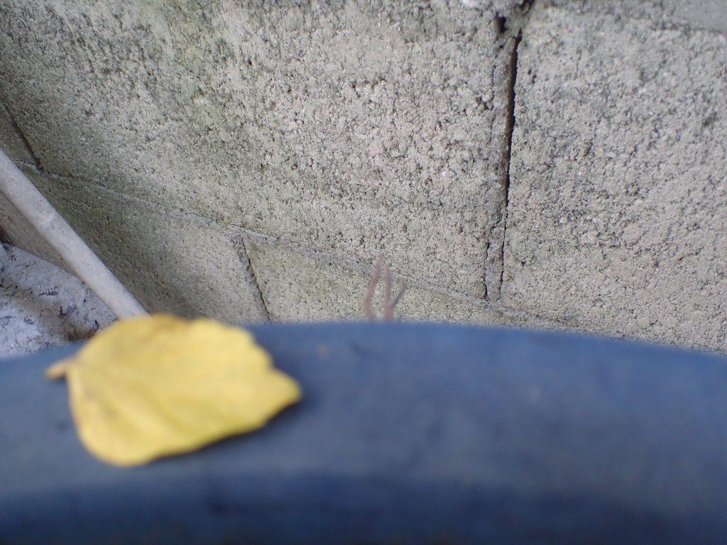 庭で水やりをしていたら植木鉢の縁からチラチラ見える物体に気付いた
