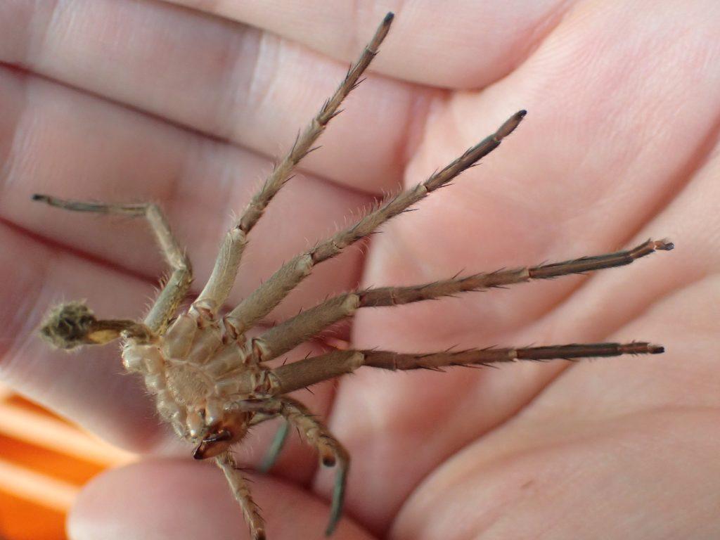 5,6センチ程度の大きさのアシダカグモの抜け殻