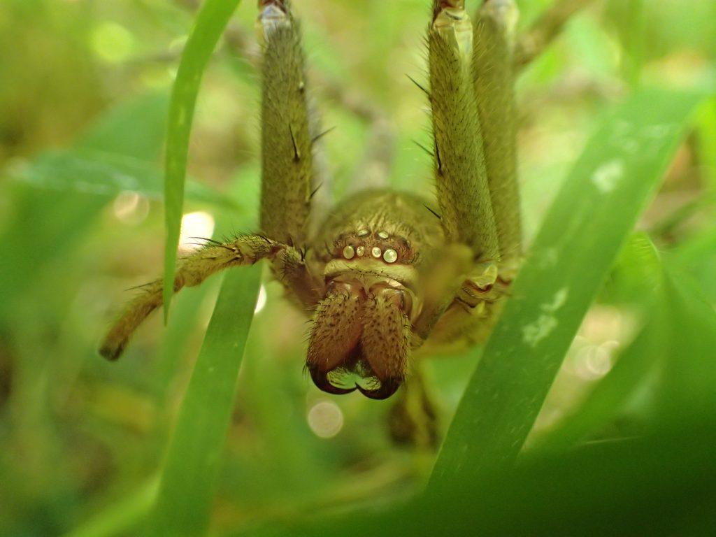 家庭用殺虫剤のゴキブリ忌避剤よりも効果がありそうなアシダカグモが脱皮した殻