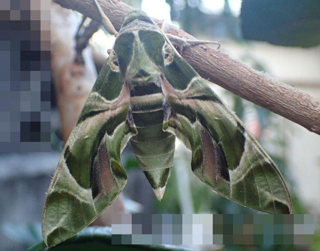 ガ(蛾)の一種である緑色の迷彩柄がキレイなウンモンスズメの写真