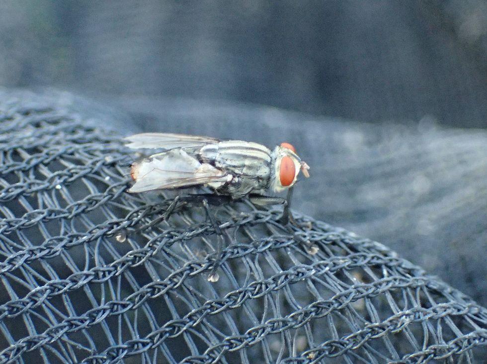 野良猫ウンチにたかり幼虫・赤ちゃんウジ虫を産み付ける害虫ニクバエ