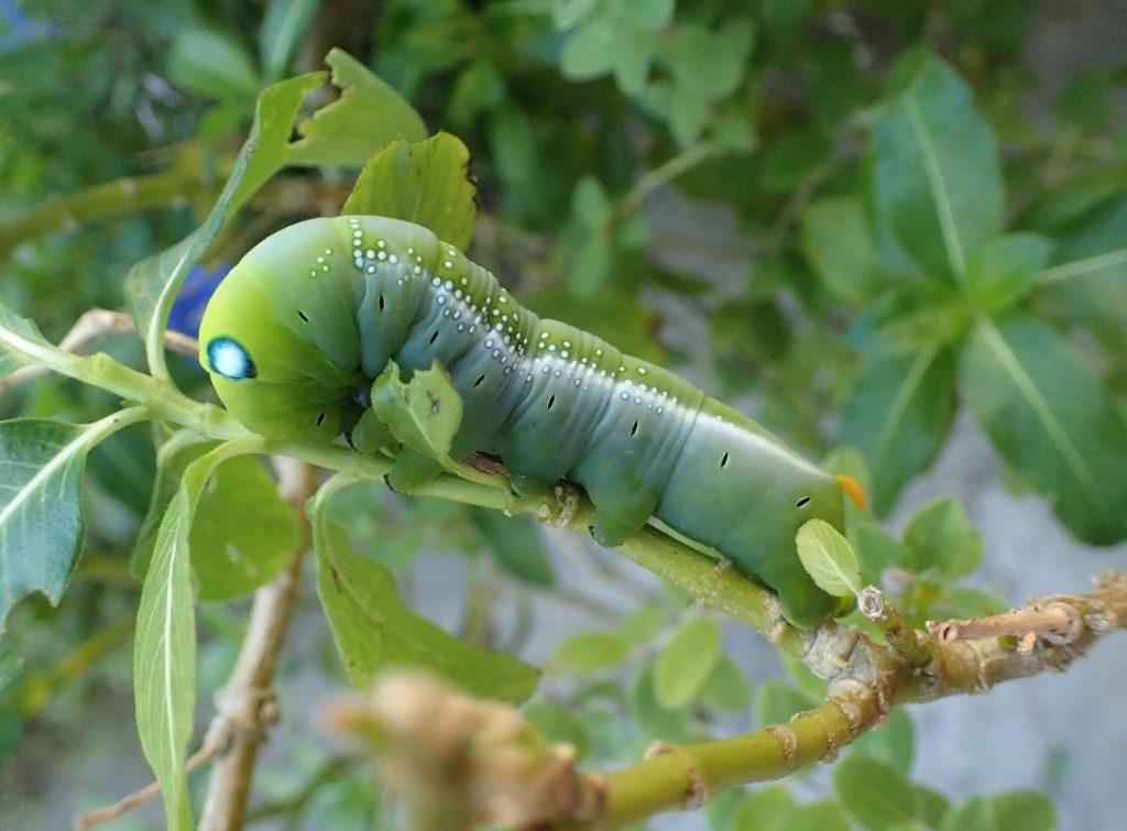 花木の枝にしがみついたキョウチクトウスズメのキレイな幼虫