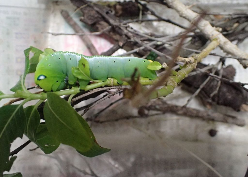 小学生に見つかり虫カゴに捕獲されたキョウチクトウスズメの幼虫