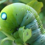 美しい幼虫には毒がある?迷彩柄でキレイな蛾(ガ)の幼虫の名前はキョウチクトウスズメだと調べた図鑑で判明!