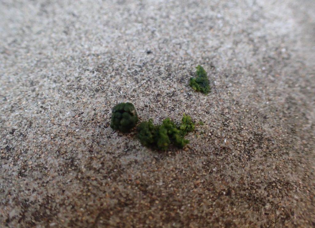 地面に落下して崩れたキョウチクトウスズメの幼虫のウンチ(糞)