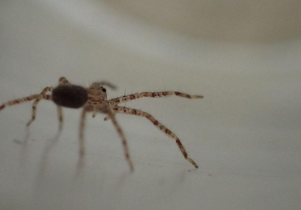 ヤブ蚊を警戒する子どものアシダカグモ
