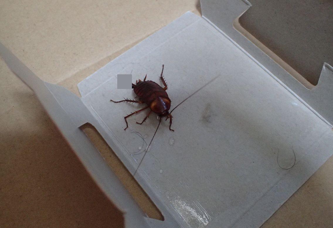粘着シート上を何度も往復させ疲れ果てたゴキブリ