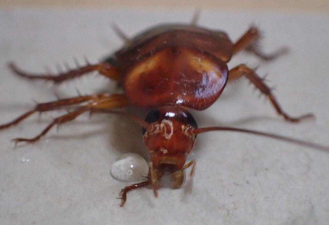 逃げる気力を失った幼齢のワモンゴキブリ