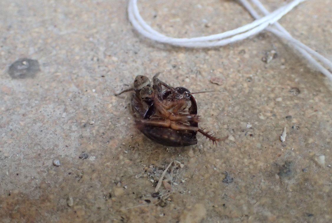 ハエトリグモが一回り大きな幼齢ゴキブリを捕らえていた!