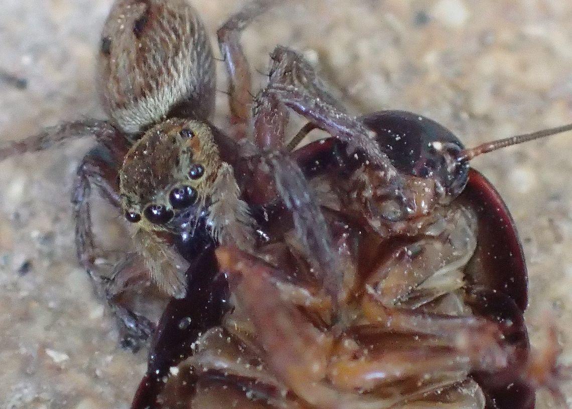 仰向けになったゴキブリが暴れても離さないハエトリグモ