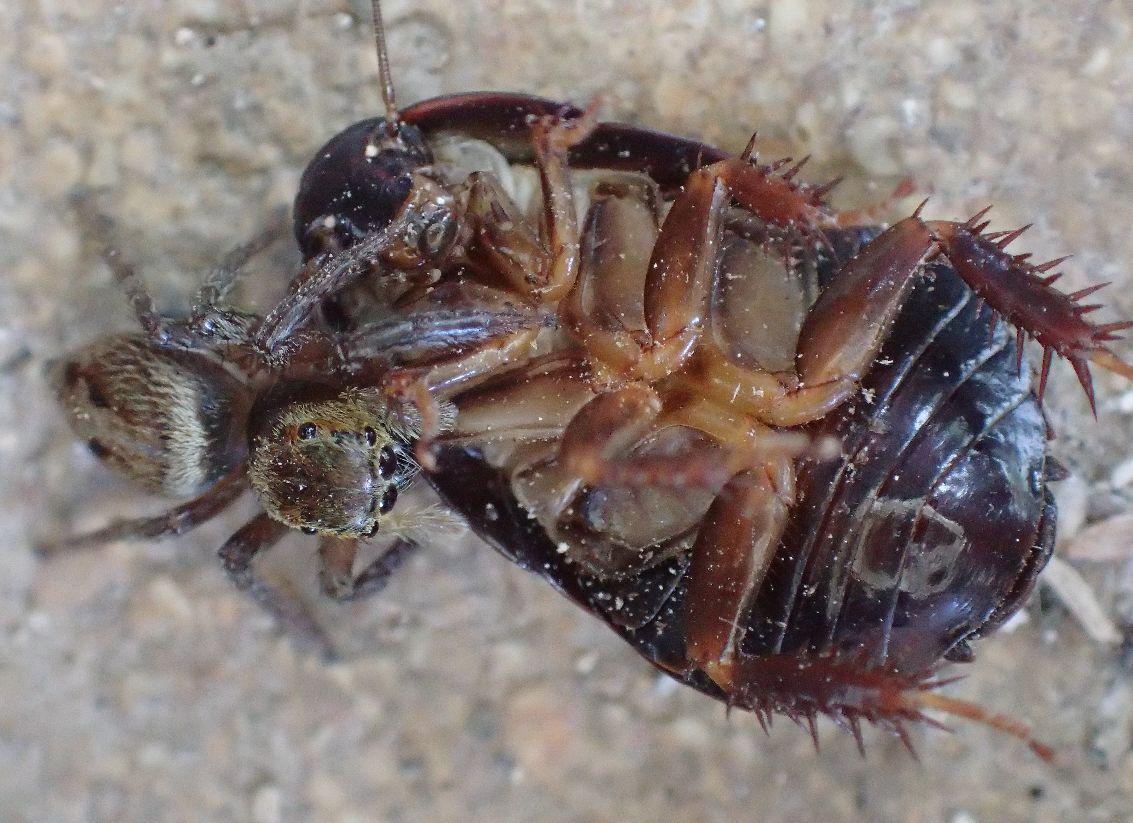 倍以上のサイズ、体格差のある相手(ゴキブリ)を抑え込むハエトリグモ