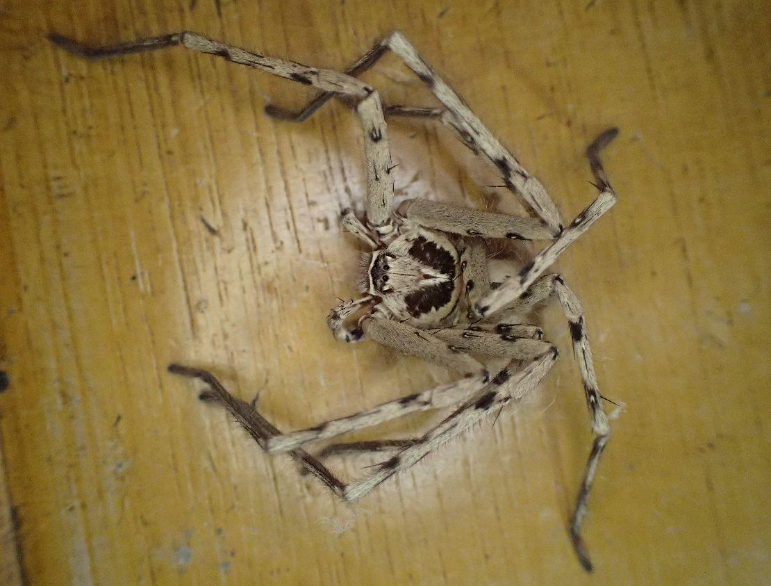"""ゴキブリの天敵(通称""""軍曹"""")アシダカグモのアップ写真"""