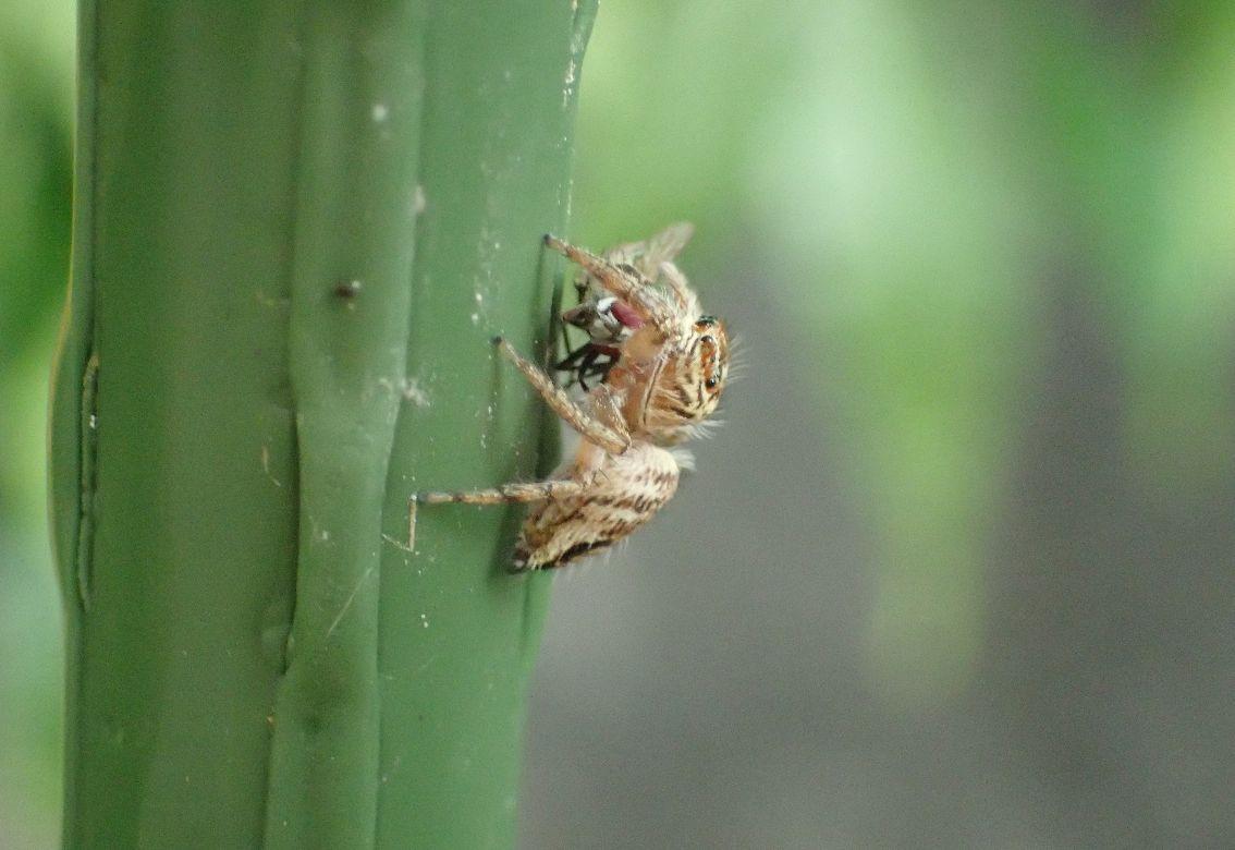 野外で蝿を捕獲したハエトリグモ