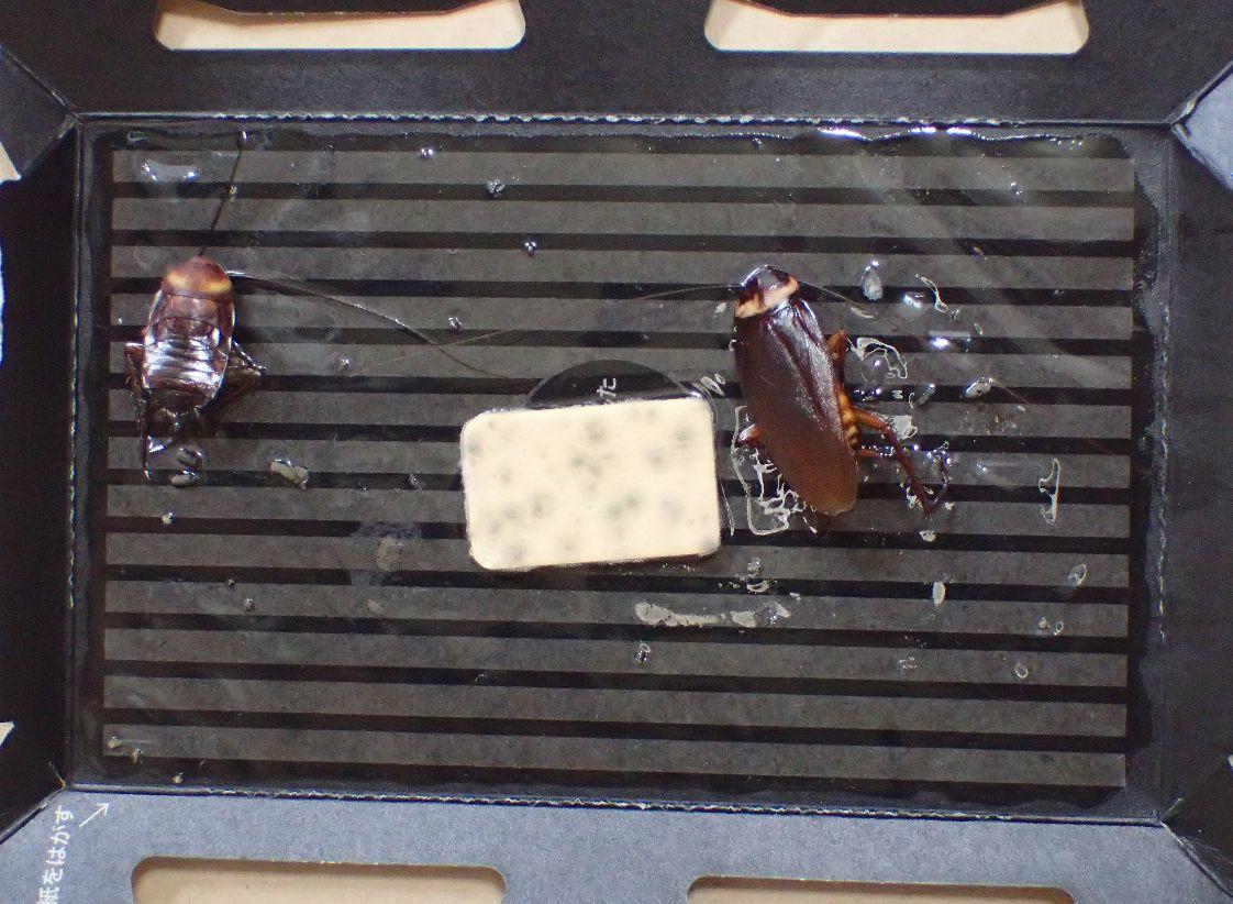 ゴキブリ捕獲シートの罠に掛かった2匹
