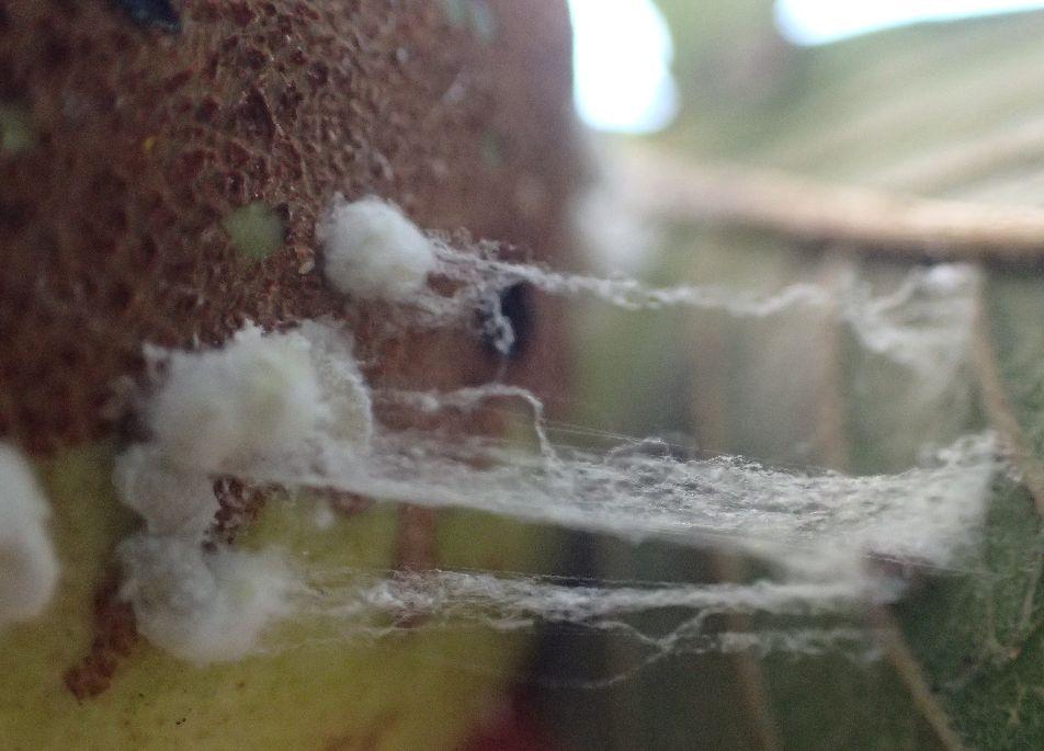 粘り気のある糸を引く害虫カイガラムシ