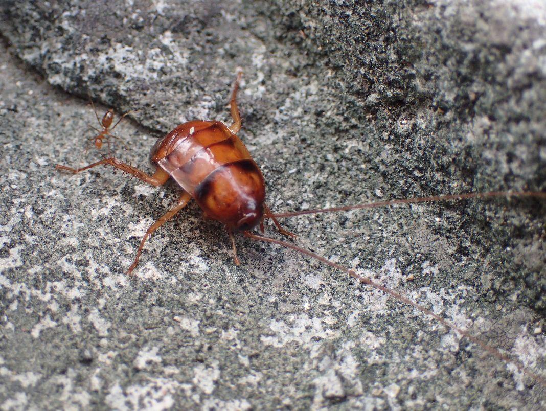 幼齢のワモンゴキブリが飛び出してきた