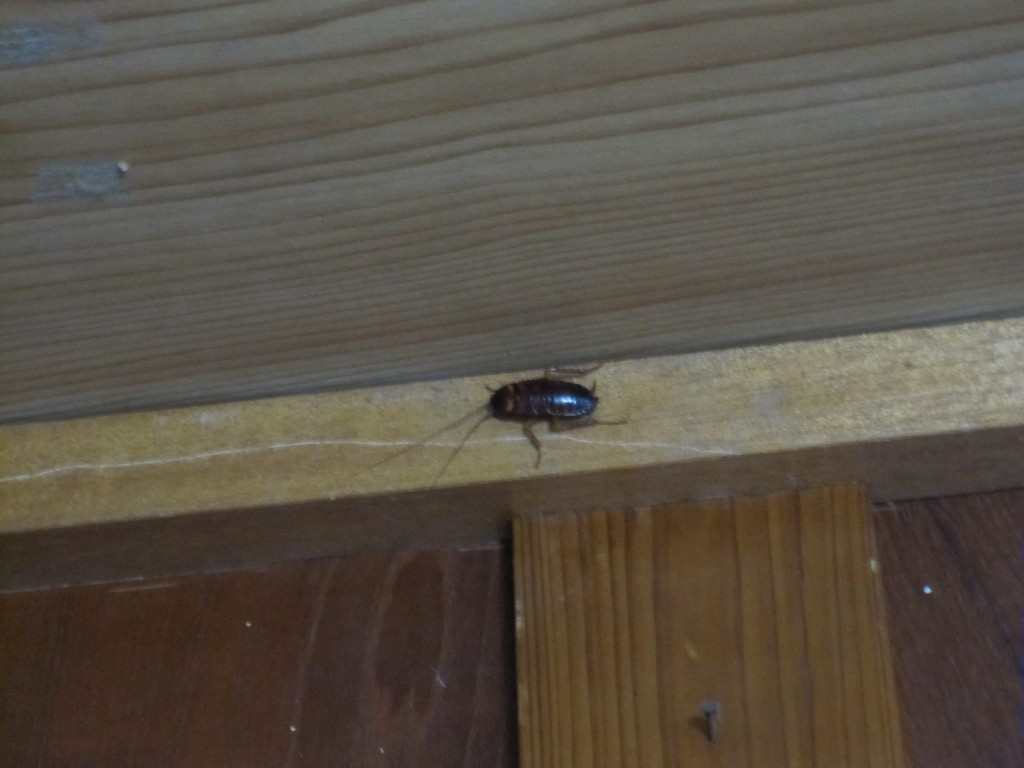 天井近くの壁でじっと身を潜めるゴキブリ