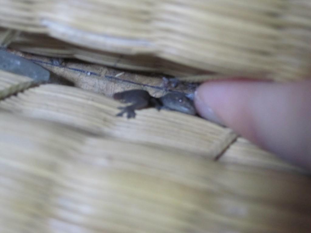 畳の隙間に隠れる子どもヤモリ
