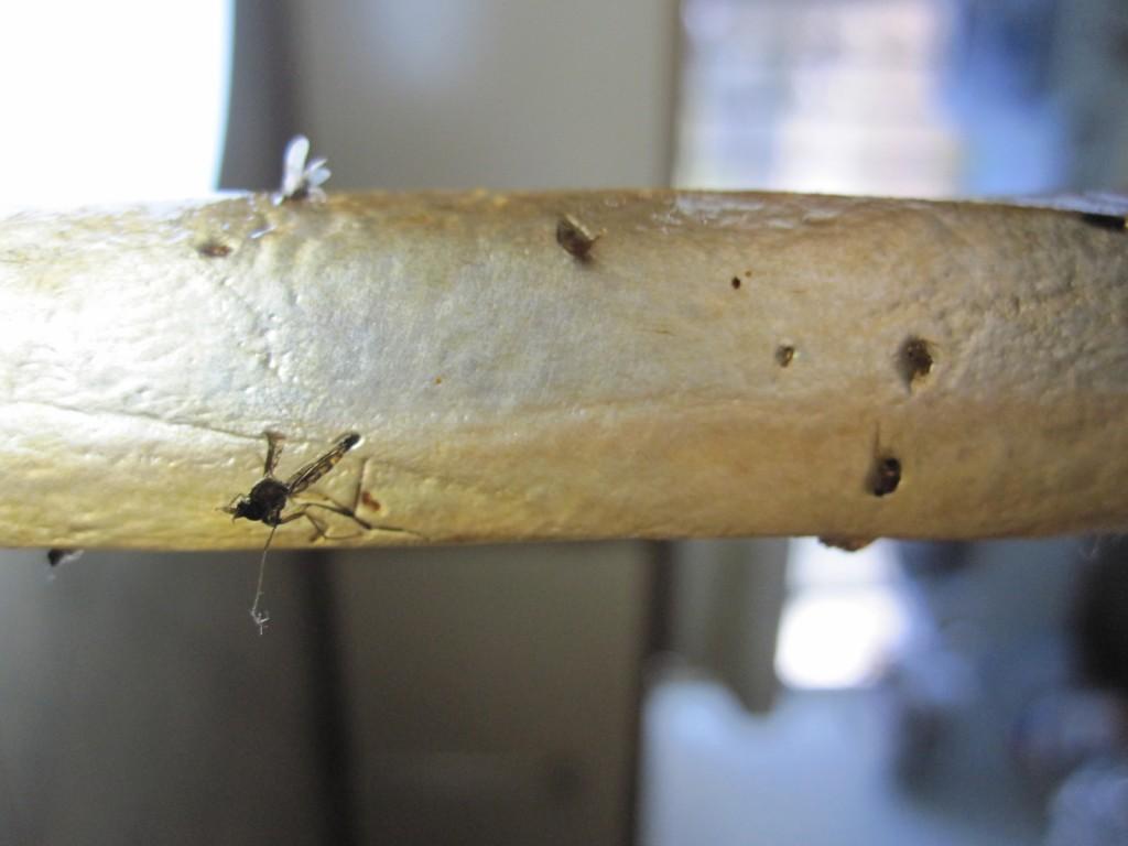 蚊の死骸をアップで撮影