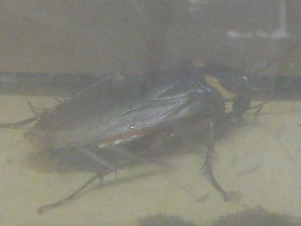 飼育容器の中で飼っているゴキブリ