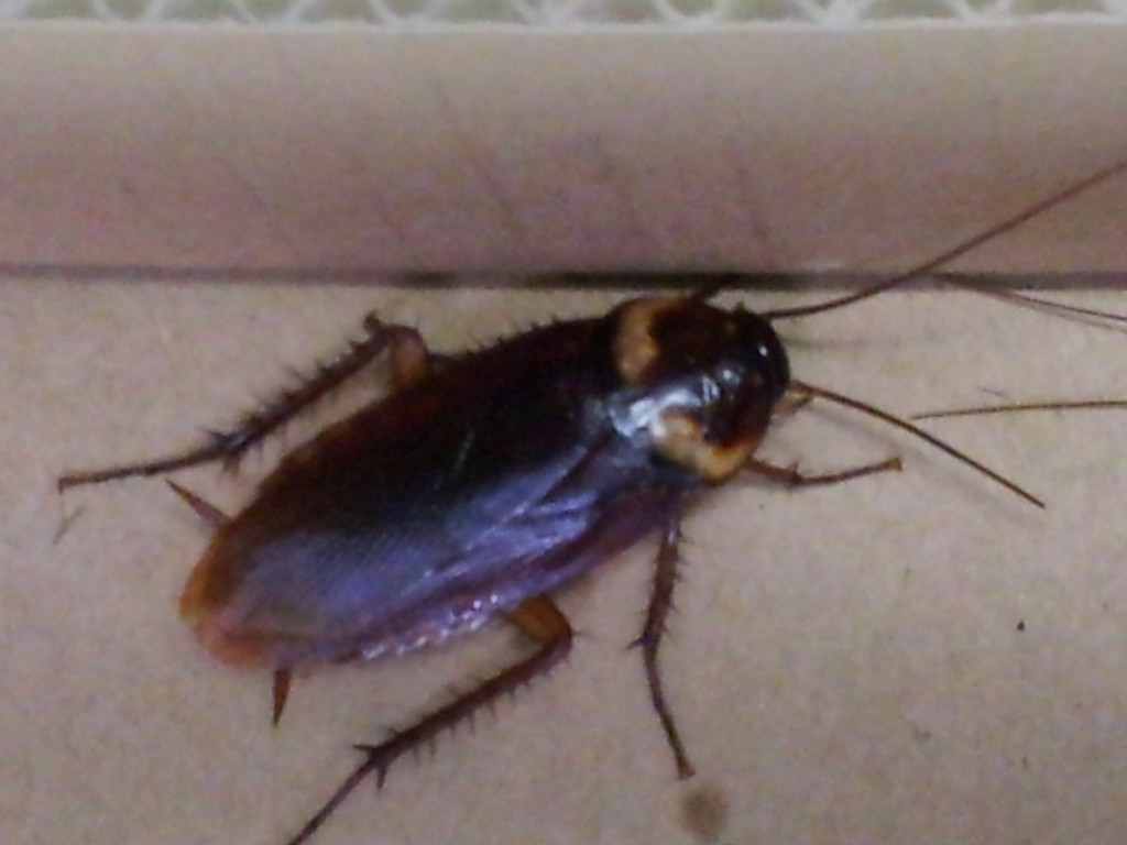 ペットにしたワモンゴキブリの成虫