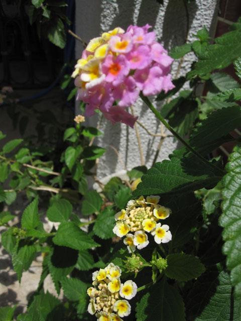 花が咲いたランタナ