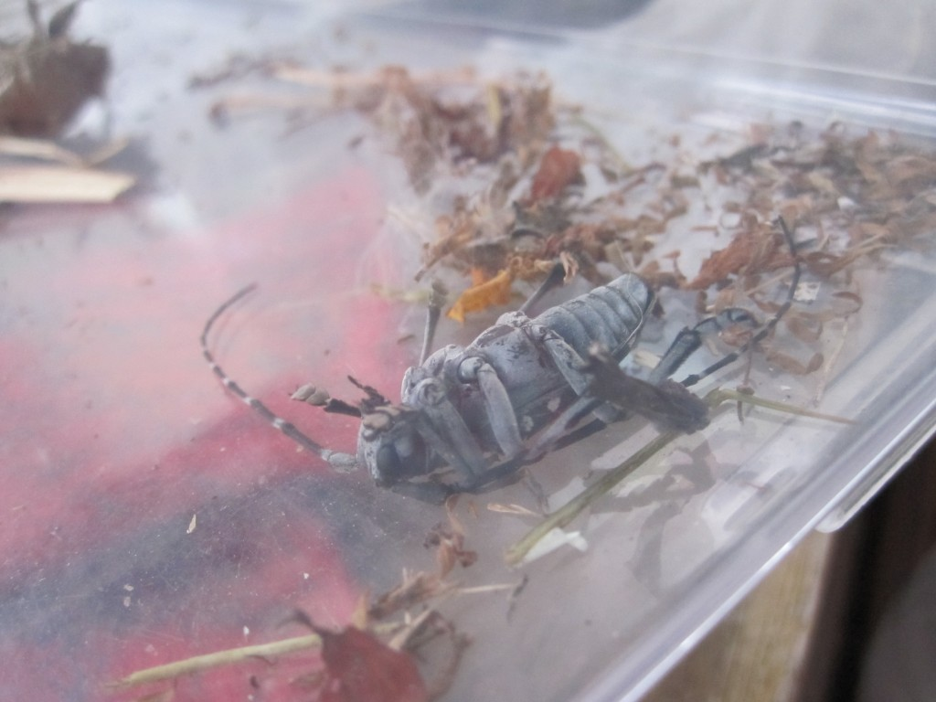 飼育容器の中のカミキリムシの死骸