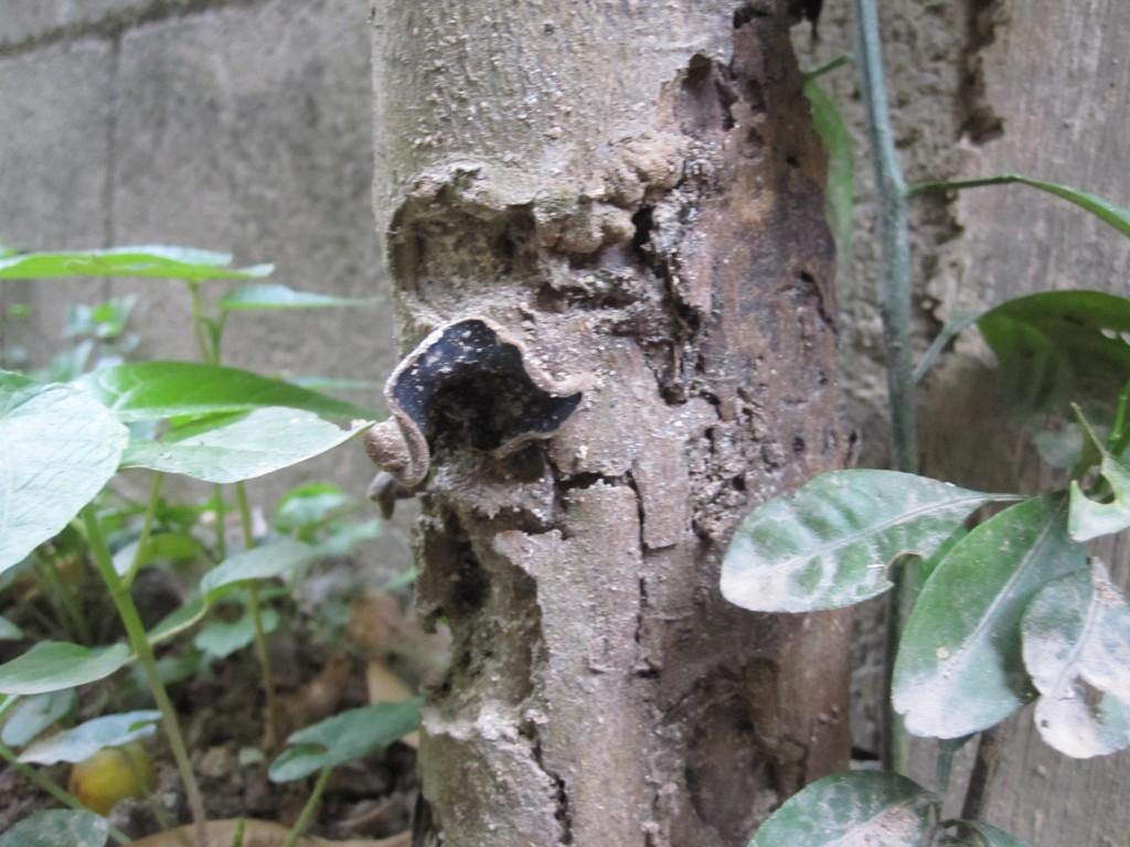 カミキリムシに囓られ穴だらけの果樹