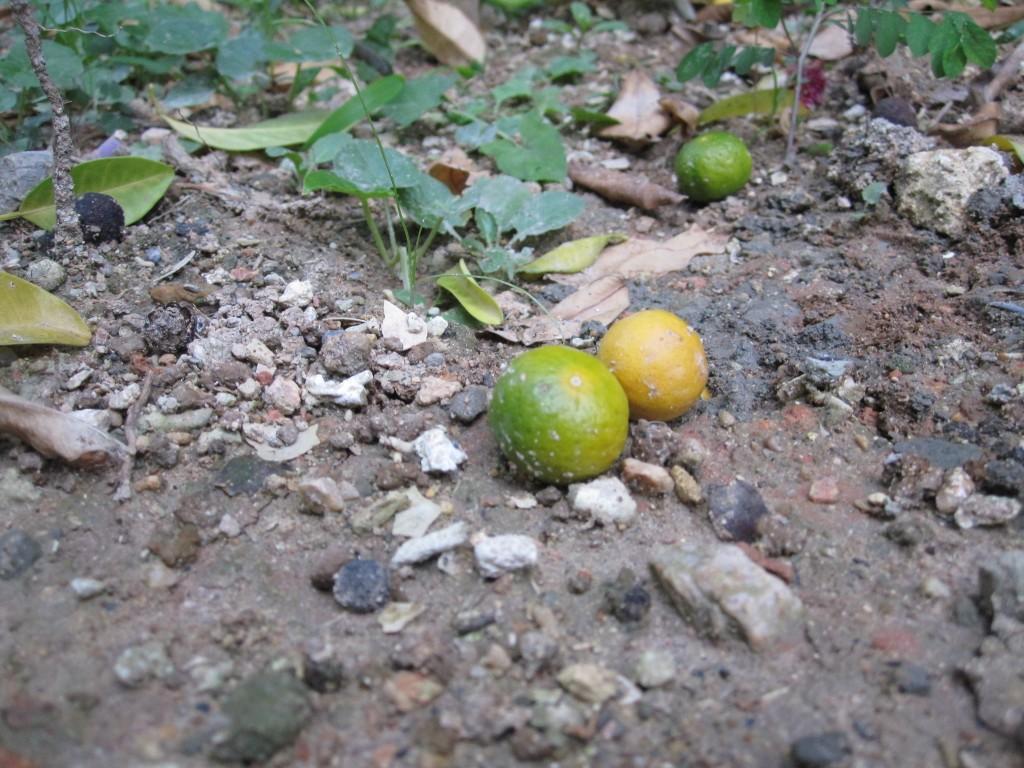 食害を受けた頃から果実が落ち始めた
