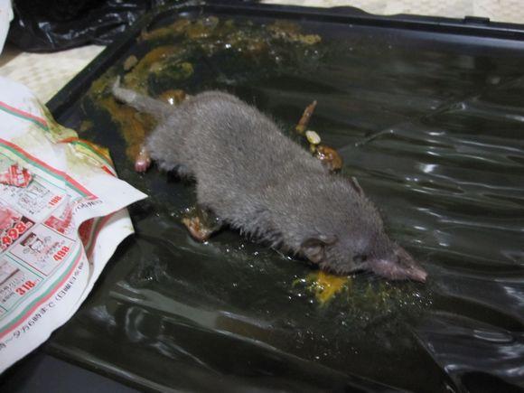 ねずみホイホイで捕獲したネズミ