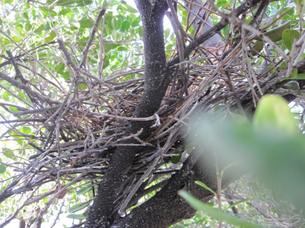 鳩が作った巣