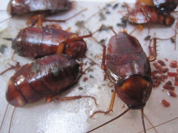 DAISOのゴキブリ粘着シートに掛かったゴキブリ