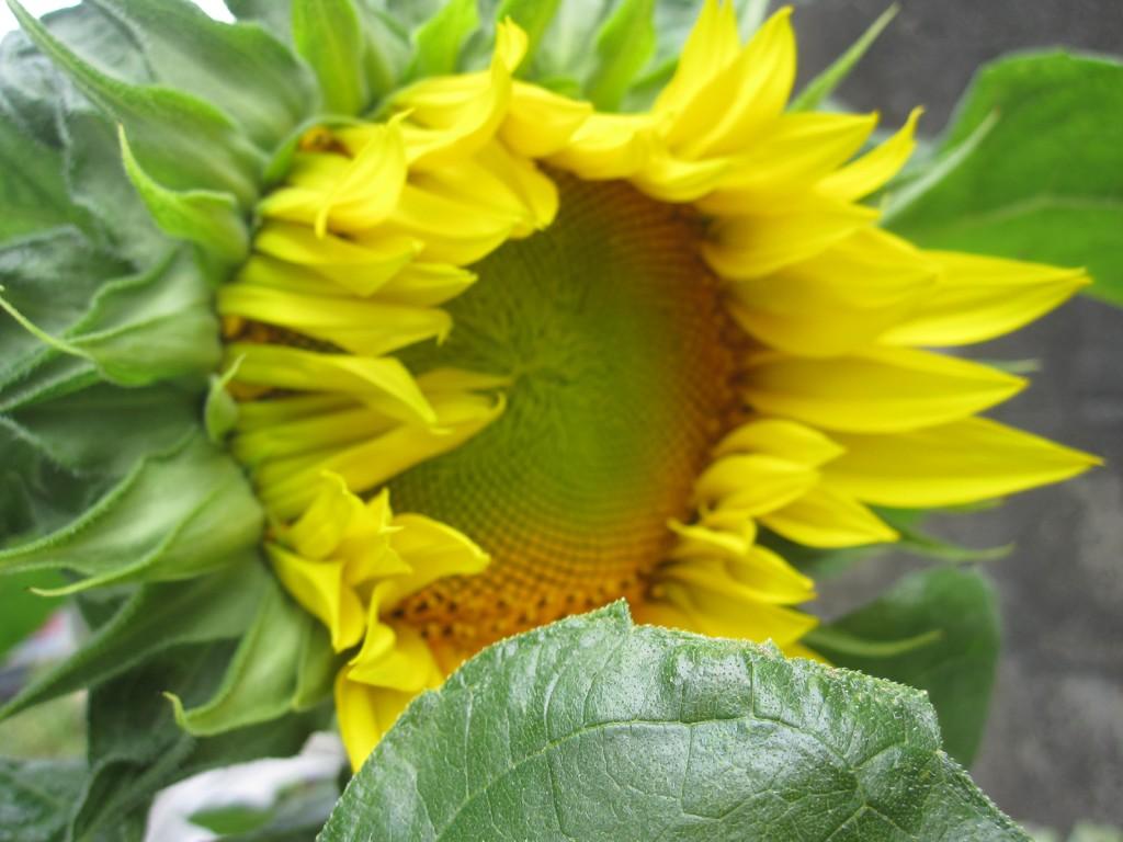 元気よく咲いたヒマワリの大輪花