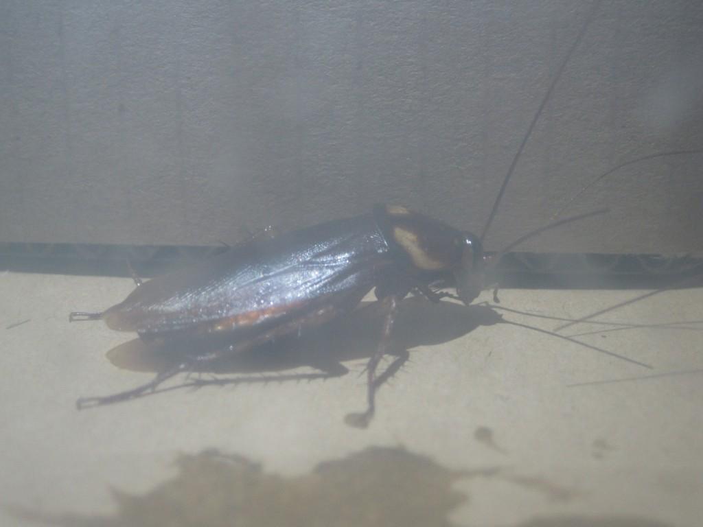 ワモンゴキブリを虫かごに移す