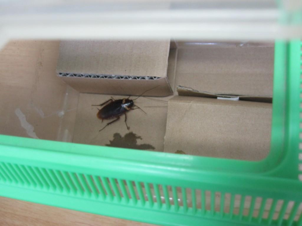 ダンボールの感触を確かめるゴキブリ