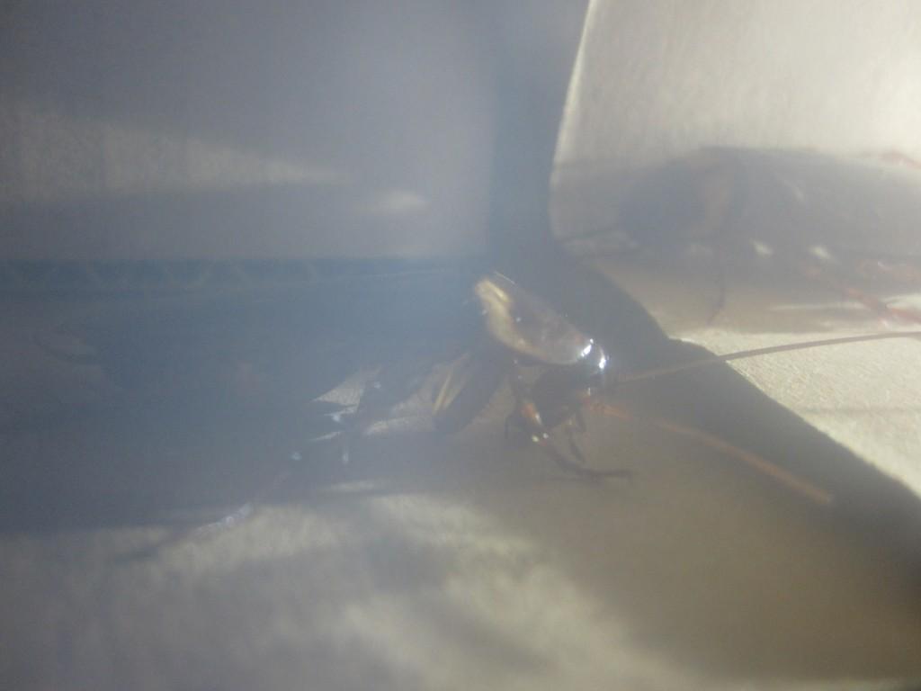 元気なワモンゴキブリの様子
