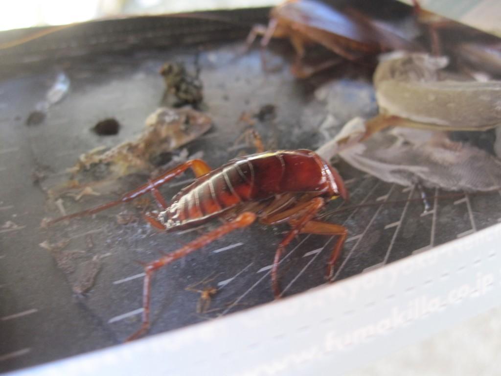 ゴキブリ捕獲器に掛かった害虫