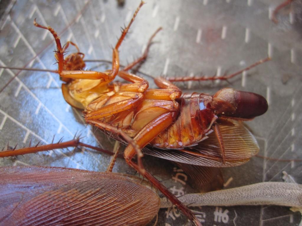 卵(卵鞘)を抱えたワモンゴキブリ