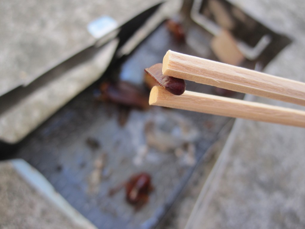 ワモンゴキブリの産みたて卵(卵鞘)