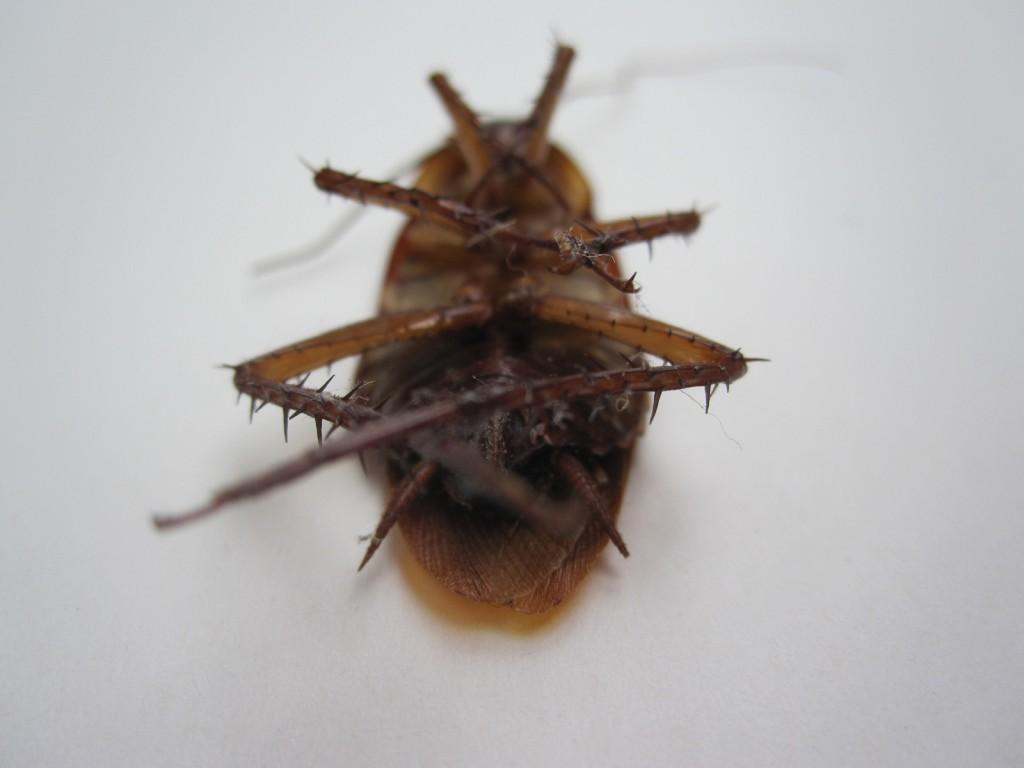 死んでひっくり返ったゴキブリ