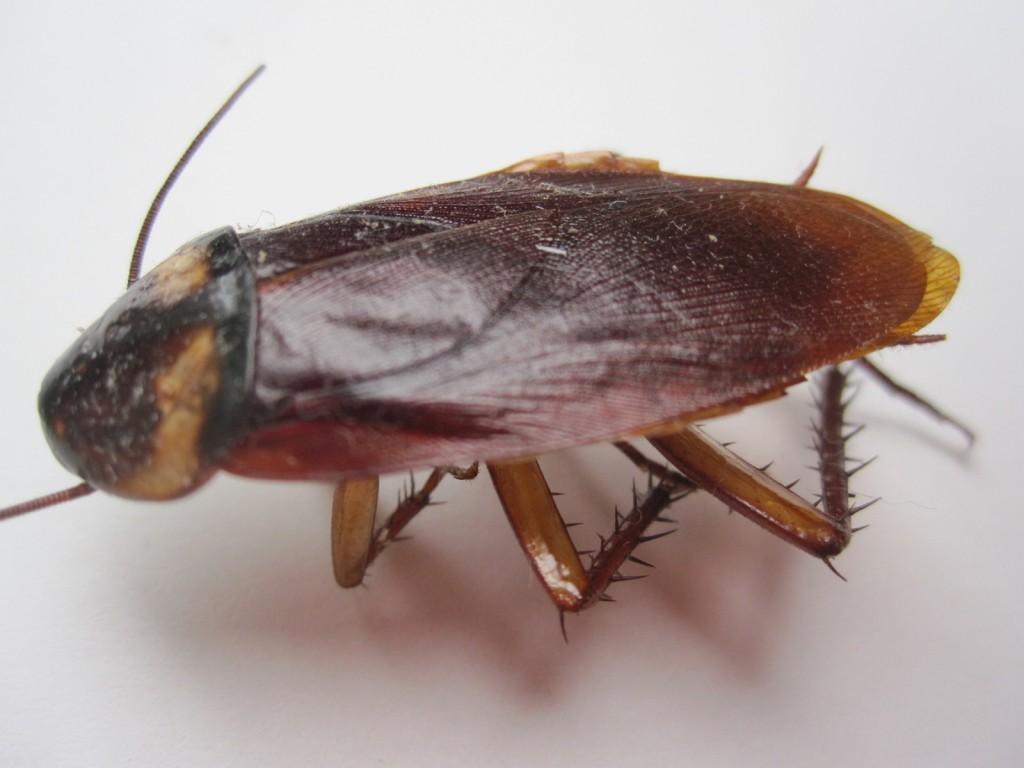 死んで死後硬直したゴキブリ
