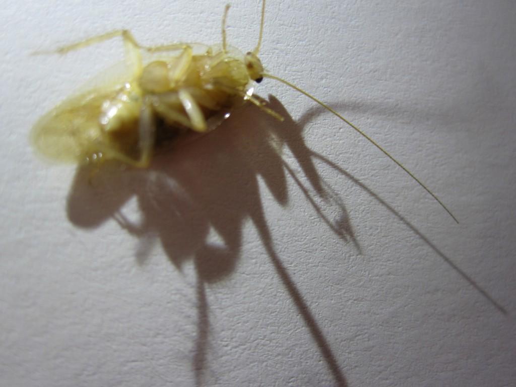 ひっくり返りジタバタするチャバネゴキブリ