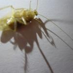 チャバネゴキブリに襲われた (;゚Д゚)ノ!就寝前の暗闇の部屋で唯一明るいテレビ画面に怪しい影が